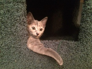 We failed at fostering again. Meet our new kitten, Eve.